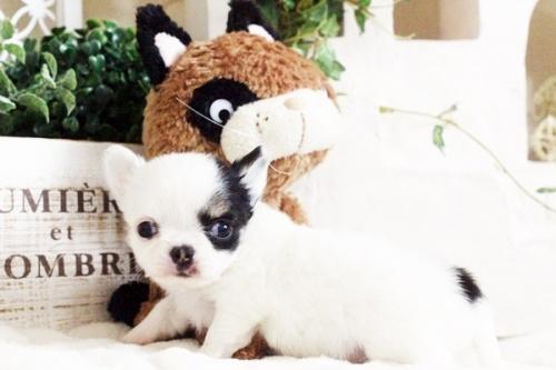 チワワ(ロング)の子犬(ID:1255411690)の2枚目の写真/更新日:2017-07-04