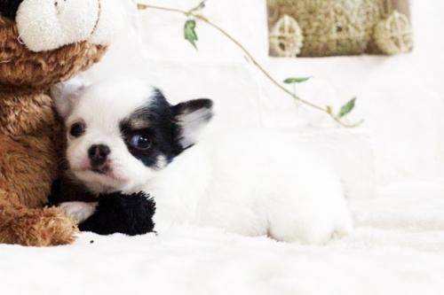 チワワ(ロング)の子犬(ID:1255411690)の4枚目の写真/更新日:2017-07-04