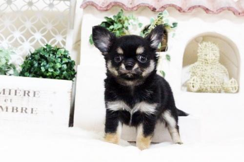 ウェルシュ・コーギー・ペンブロークの子犬(ID:1255411691)の1枚目の写真/更新日:2017-07-04