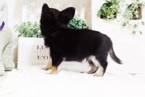 ウェルシュ・コーギー・ペンブロークの子犬(ID:1255411691)の2枚目の写真/更新日:2017-07-04
