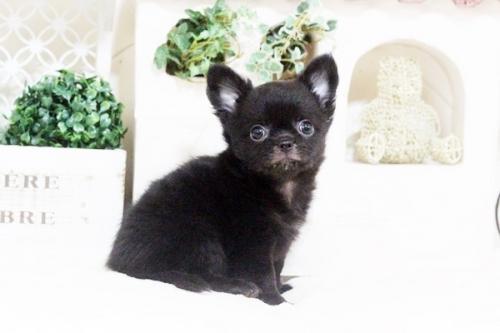 チワワ(ロング)の子犬(ID:1255411692)の1枚目の写真/更新日:2017-07-04