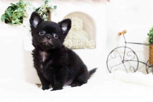 チワワ(ロング)の子犬(ID:1255411692)の3枚目の写真/更新日:2017-07-04