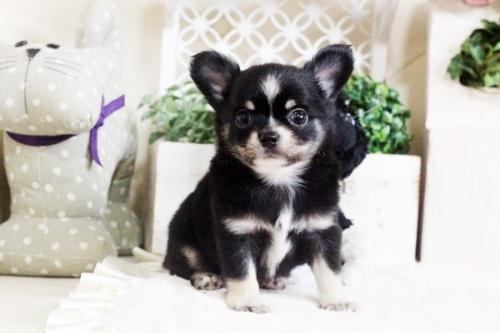 チワワ(ロング)の子犬(ID:1255411693)の1枚目の写真/更新日:2017-07-04