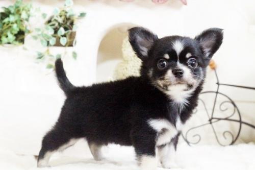 チワワ(ロング)の子犬(ID:1255411693)の2枚目の写真/更新日:2017-07-04