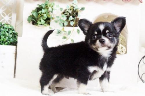 チワワ(ロング)の子犬(ID:1255411693)の3枚目の写真/更新日:2017-07-04