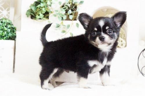 チワワ(ロング)の子犬(ID:1255411693)の4枚目の写真/更新日:2017-07-04