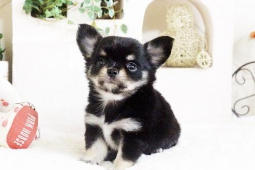 チワワ(ロング)の子犬(ID:1255411694)の1枚目の写真/更新日:2017-07-04