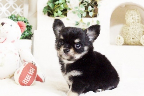 チワワ(ロング)の子犬(ID:1255411694)の2枚目の写真/更新日:2017-07-04