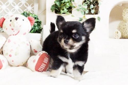 チワワ(ロング)の子犬(ID:1255411694)の4枚目の写真/更新日:2017-07-04