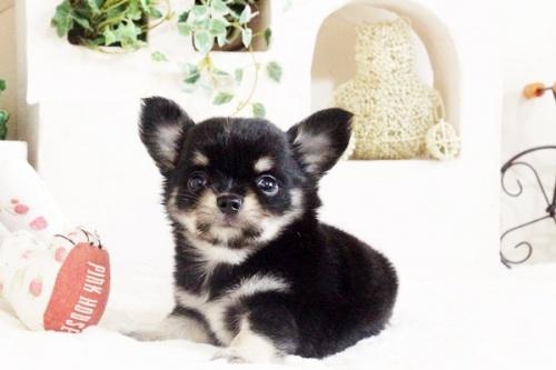 チワワ(ロング)の子犬(ID:1255411694)の5枚目の写真/更新日:2017-07-04