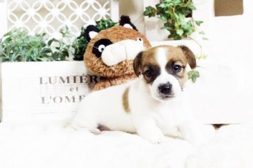 ジャックラッセルテリアの子犬(ID:1255411695)の1枚目の写真/更新日:2017-07-04