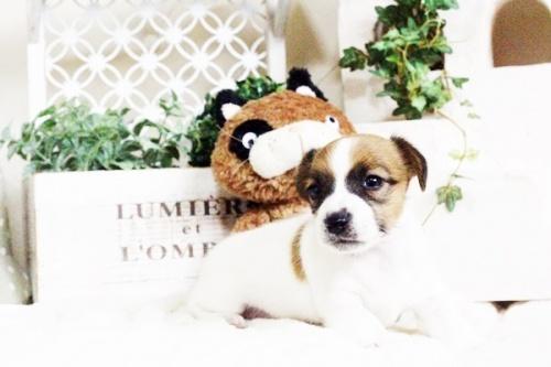 ジャックラッセルテリアの子犬(ID:1255411695)の2枚目の写真/更新日:2017-07-04