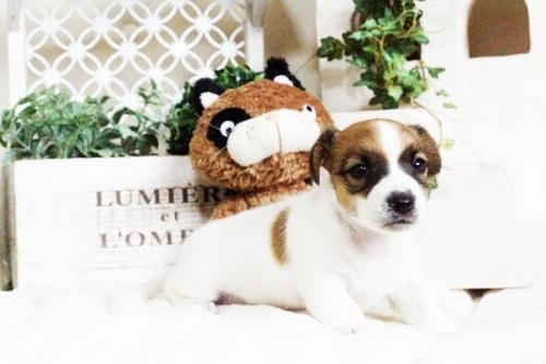 ジャックラッセルテリアの子犬(ID:1255411695)の3枚目の写真/更新日:2017-07-04