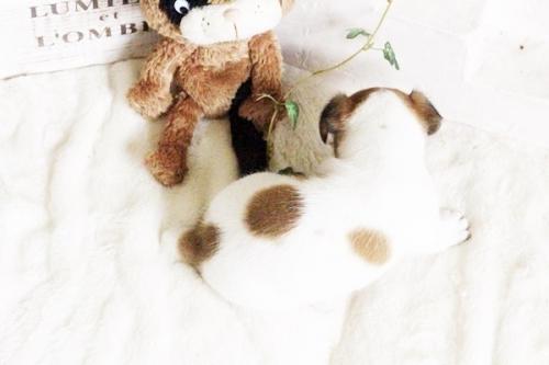 ジャックラッセルテリアの子犬(ID:1255411695)の4枚目の写真/更新日:2017-07-04