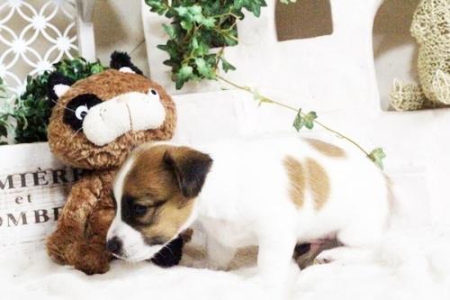 ジャックラッセルテリアの子犬(ID:1255411695)の5枚目の写真/更新日:2017-07-04
