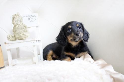 カニンヘンダックスフンド(ロング)の子犬(ID:1255411696)の1枚目の写真/更新日:2020-11-17