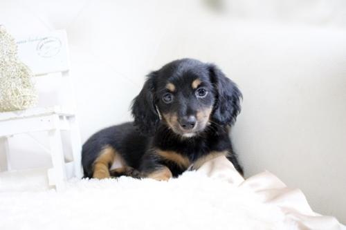カニンヘンダックスフンド(ロング)の子犬(ID:1255411696)の2枚目の写真/更新日:2020-11-17
