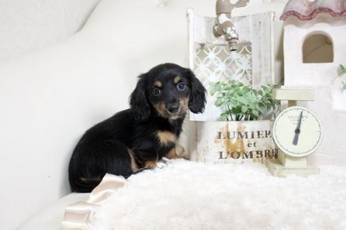 カニンヘンダックスフンド(ロング)の子犬(ID:1255411696)の3枚目の写真/更新日:2020-11-17