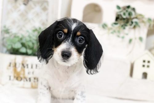カニンヘンダックスフンド(ワイアー)の子犬(ID:1255411697)の1枚目の写真/更新日:2017-07-04