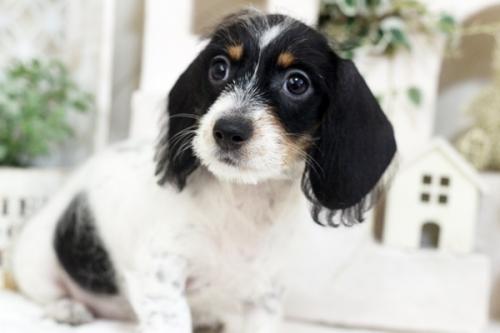 カニンヘンダックスフンド(ワイアー)の子犬(ID:1255411697)の2枚目の写真/更新日:2017-08-14