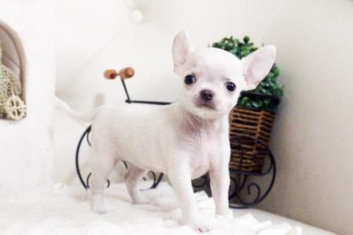 チワワ(スムース)の子犬(ID:1255411698)の1枚目の写真/更新日:2017-07-11