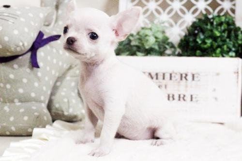 チワワ(スムース)の子犬(ID:1255411698)の2枚目の写真/更新日:2017-07-11