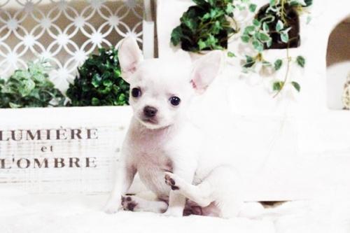 チワワ(スムース)の子犬(ID:1255411698)の3枚目の写真/更新日:2017-07-11