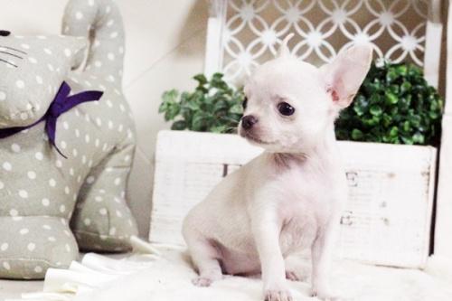 チワワ(スムース)の子犬(ID:1255411698)の5枚目の写真/更新日:2017-07-11