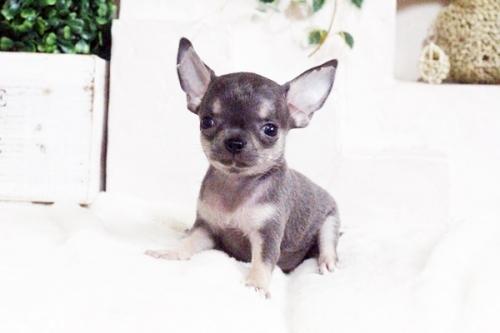 チワワ(スムース)の子犬(ID:1255411699)の1枚目の写真/更新日:2017-07-11