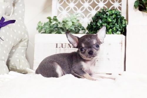 チワワ(スムース)の子犬(ID:1255411699)の3枚目の写真/更新日:2017-07-11