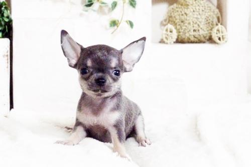 チワワ(スムース)の子犬(ID:1255411699)の4枚目の写真/更新日:2017-07-11