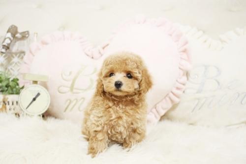 トイプードルの子犬(ID:1255411700)の1枚目の写真/更新日:2017-07-17