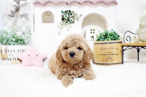 トイプードルの子犬(ID:1255411700)の2枚目の写真/更新日:2017-07-17