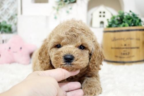 トイプードルの子犬(ID:1255411700)の3枚目の写真/更新日:2017-07-17