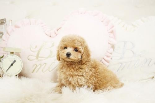 トイプードルの子犬(ID:1255411700)の4枚目の写真/更新日:2017-07-17