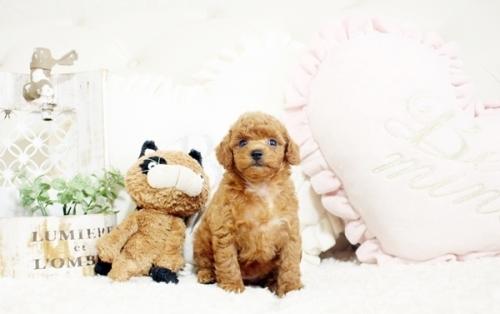 トイプードルの子犬(ID:1255411701)の1枚目の写真/更新日:2017-07-17