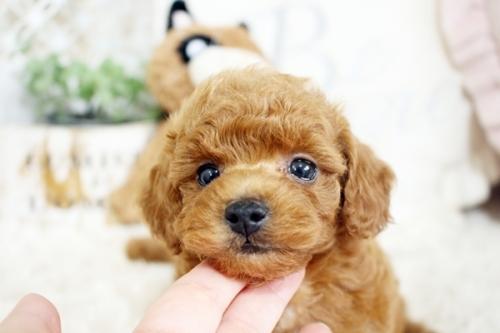 トイプードルの子犬(ID:1255411701)の3枚目の写真/更新日:2017-07-17