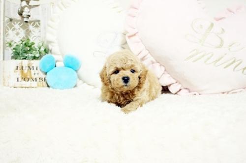 トイプードルの子犬(ID:1255411702)の1枚目の写真/更新日:2021-09-08