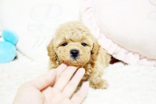 トイプードルの子犬(ID:1255411702)の2枚目の写真/更新日:2017-07-17
