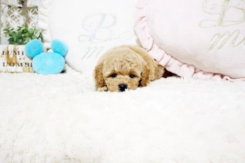 トイプードルの子犬(ID:1255411702)の3枚目の写真/更新日:2020-05-04
