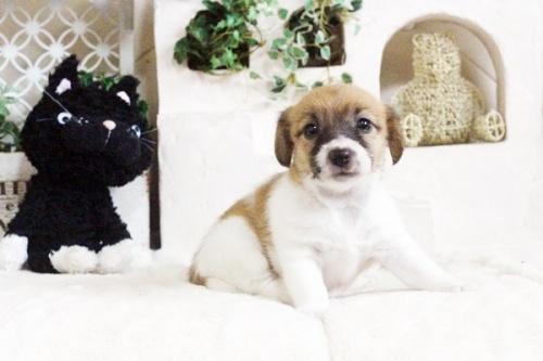 ジャックラッセルテリアの子犬(ID:1255411703)の1枚目の写真/更新日:2017-07-17