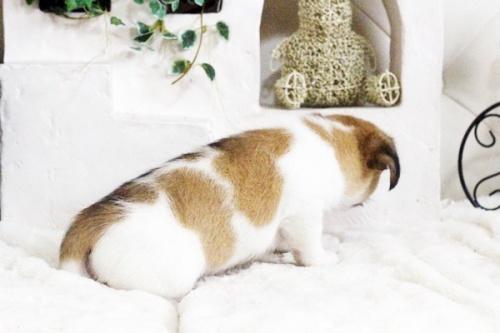 ジャックラッセルテリアの子犬(ID:1255411703)の3枚目の写真/更新日:2017-07-17