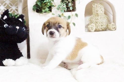 ジャックラッセルテリアの子犬(ID:1255411703)の5枚目の写真/更新日:2017-07-17