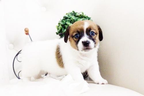 ジャックラッセルテリアの子犬(ID:1255411704)の1枚目の写真/更新日:2017-07-17