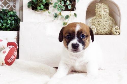 ジャックラッセルテリアの子犬(ID:1255411704)の2枚目の写真/更新日:2017-07-17