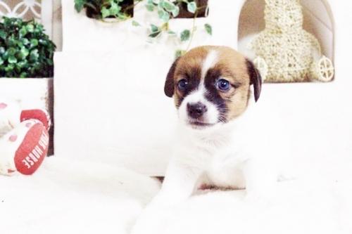 ジャックラッセルテリアの子犬(ID:1255411704)の3枚目の写真/更新日:2017-07-17