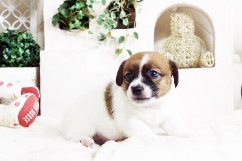 ジャックラッセルテリアの子犬(ID:1255411704)の5枚目の写真/更新日:2017-07-17
