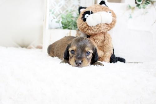カニンヘンダックスフンド(ロング)の子犬(ID:1255411705)の1枚目の写真/更新日:2018-06-12