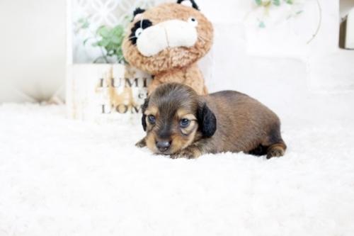 カニンヘンダックスフンド(ロング)の子犬(ID:1255411705)の3枚目の写真/更新日:2018-08-10