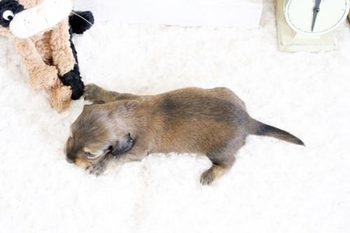 カニンヘンダックスフンド(ロング)の子犬(ID:1255411705)の4枚目の写真/更新日:2018-06-12